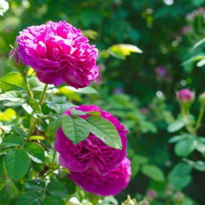 Homemade Rose Petal Jam recipe - step 1